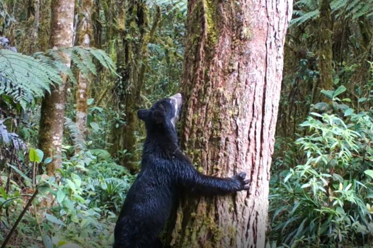 El oso de anteojos es un excelente dispersor de semillas. Foto: CAM.