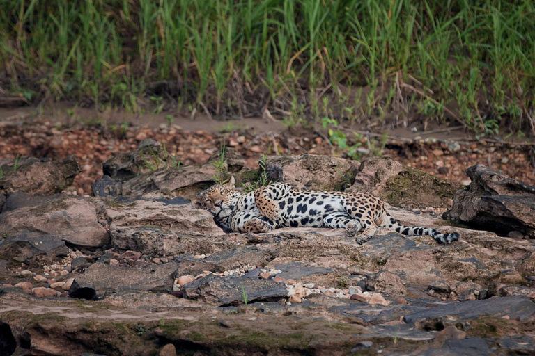 El hábitat del jaguar se ha perdido por el avance de la agricultura y otros usos del suelo. Foto: Betina – Wired Amazon