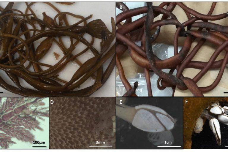 Briozzo marino transportado en las ramas de las macroalgas. Foto: Blanca Figuerola (UB-IRBio)