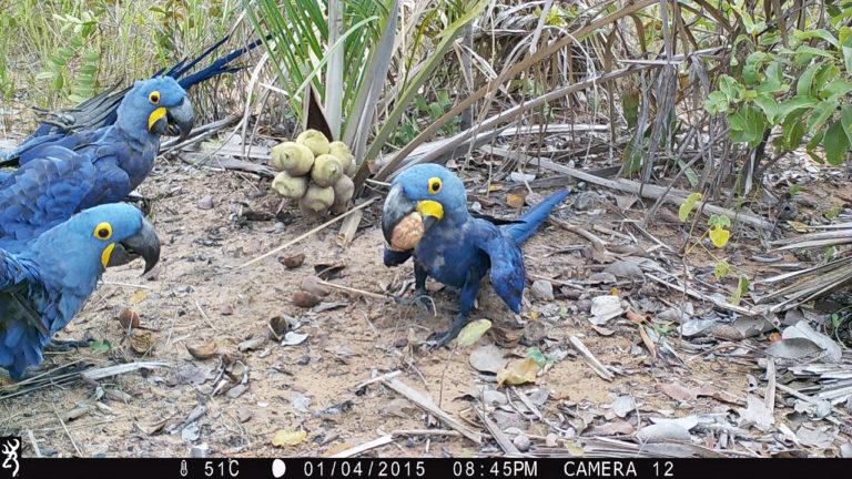 Cámaras trampa del estudio registran a guacamayos Jacintos recogiendo frutos de palmeras. Foto: Estación Biológica de Doña Ana, CSIC.