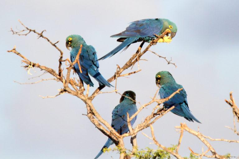 Guacamayos de Lear en el bioma de la Caatinga, en la región Nordeste de Brasil. Foto: Steve Brooks (www.wildparrotsupclose.com)