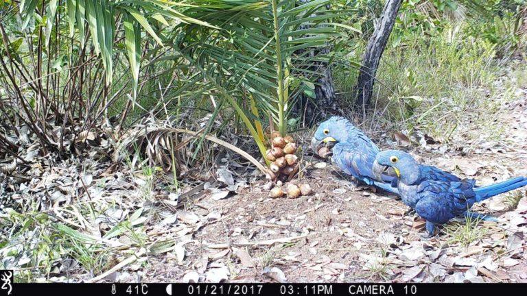 El uso del fototrampeo ayudó a obtener las tasas de dispersión de los frutos de las distintas especies de palmeras por parte de los Anodorhynchus. Foto: Estación Biológica de Doña Ana, CSIC.