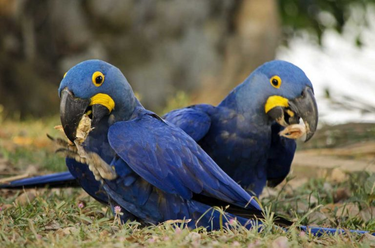 Guacamayos Jacintos alimentándose de frutos de palma en el Pantanal Brasilero. Foto: Eduardo Franco Berton