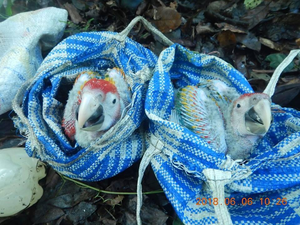 Un par de polluelos rescatados en Belice. Fotografía: Cortesía Friends for Conservation Development