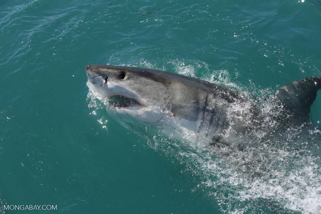Un gran tiburón blanco en las costas de Sudáfrica. Foto: Rhett A. Butler / Mongabay