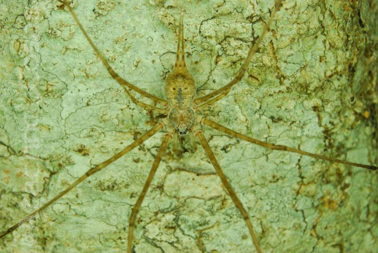 Araña colas largas (Neotama mexicana). Foto: Diego Barrales.