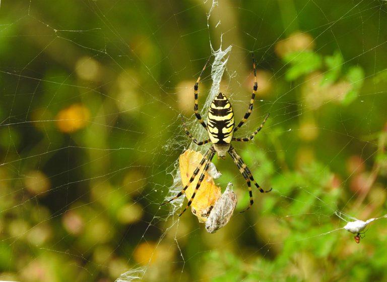 Araña tigre (Argiope aurantia). Foto: Diego Barrales.