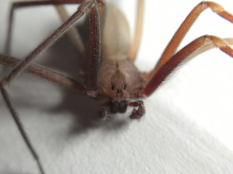 Araña violinista del Valle de México (Loxosceles tenochtitlan), especie descrita por el doctor Alejandro Valdez. Foto: Diego Barrales.