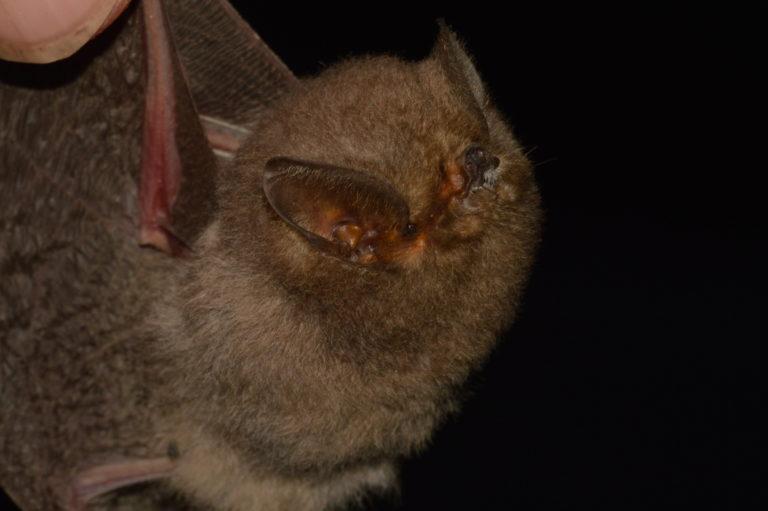 Murciélago encontrado en la comuna de Cauchiche. Foto: Santiago Burneo.