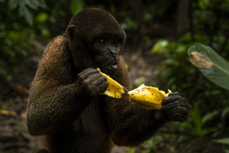 La comida de los animales, no sólo de los primates, comienza a faltar en los centros de rescate. A pesar de que contienen el tráfico de fauna. Foto: Lucero López Lavalle.
