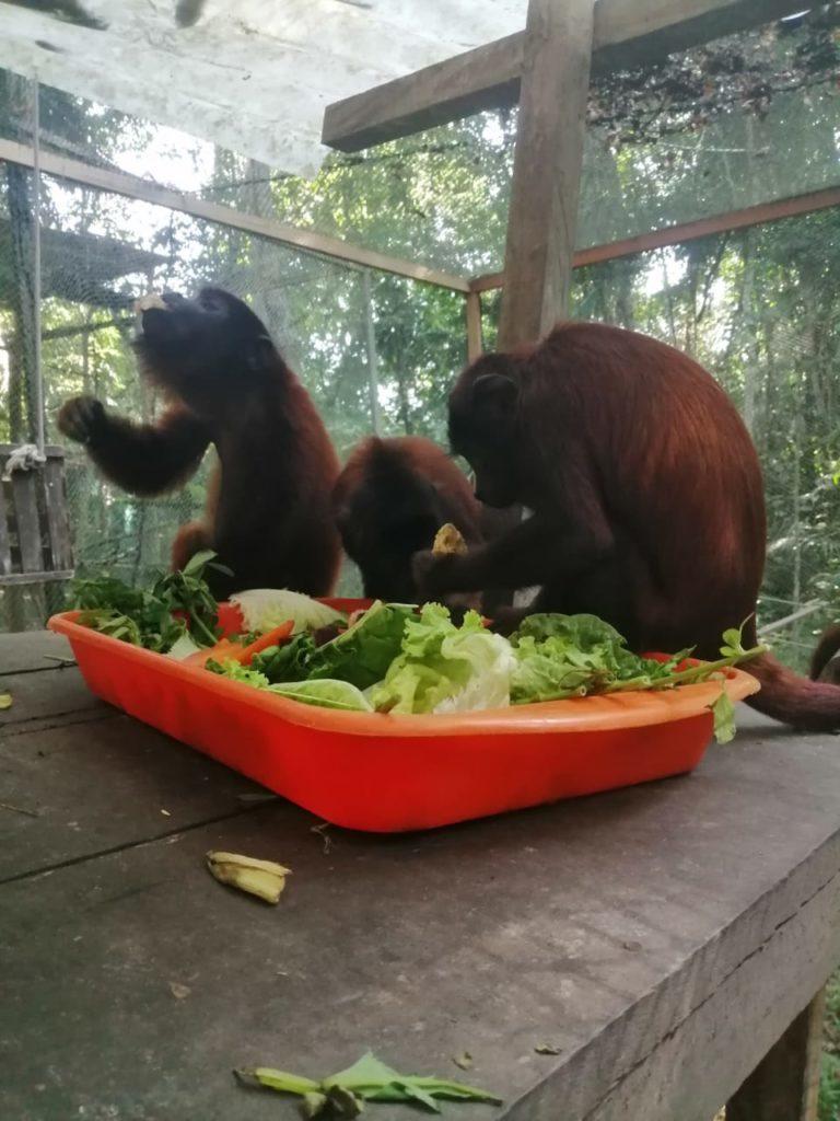 Un grupo de monos comiendo frutas y verduras en Amazon Shelter, un centro de rescate ubicado en Puerto Maldonado. Foto: Amazon Shelter.