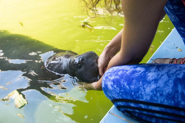 Un manatí es atendido por la veterinaria Violeta Barrera en el Centro de Rescate Animal (CREA), que está en Iquitos. No los abandonan. Foto: Natalia Tamariz.