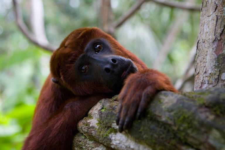 ¿Podemos comprender, como humanos, que salvar a los animales es también defendernos, incluso de virus similares al COVID-19? Foto: Pilpintuwasi.