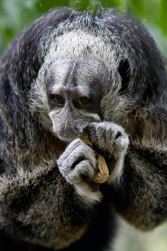 Los primates, así como otros animales, pueden alojar virus que pueden saltar hacia humanos y provocar epidemias si el tráfico de fauna continúa. Foto: Pilpintuwasi.