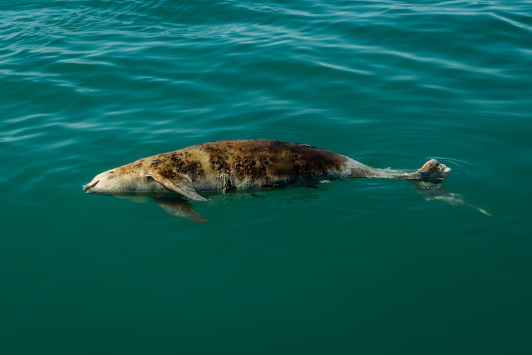 Una vaquita muerta flota en el océano. Foto de Robbie Newby/Sea Shepherd.