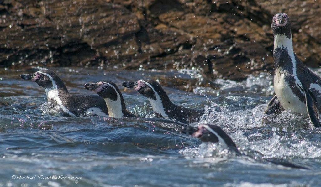 Pingüinos de Humboldt. Foto: Michael Tweddle-Oceana.