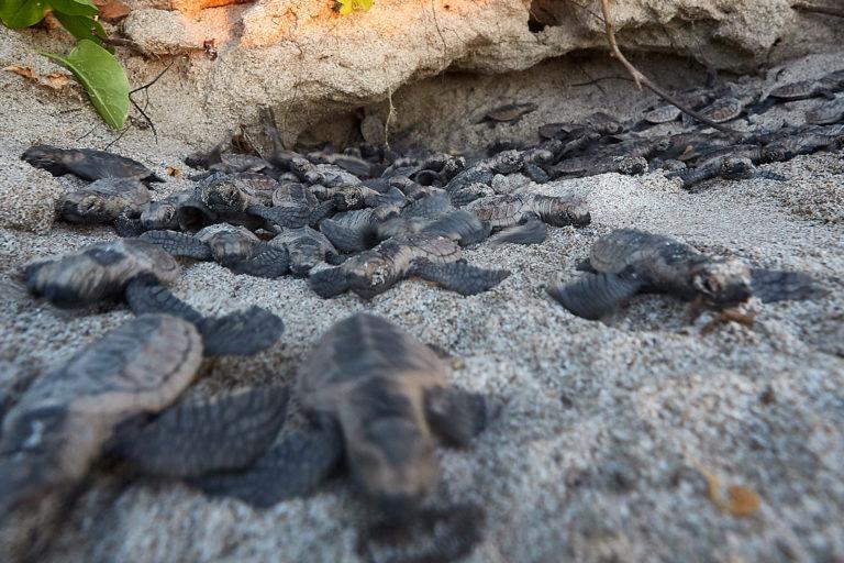 Tortugas carey salen de su nido. Foto: Equilibrio Azul/ @equilibrioazul