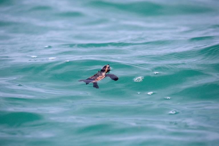 Son pocas las tortugas que nacen y logran llegar al agua. Equilibrio azul ayuda a que el porcentaje de éxito sea mayor. Foto: Equilibrio Azul/ @equilibrioazul