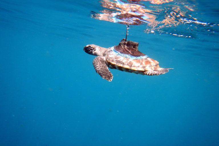 La tortuga carey es una de las tortugas marinas más amenazadas por la caza ilegal. Foto: Equilibrio Azul/ @equilibrioazul