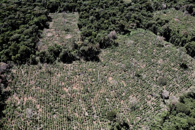 Agentes de la Senad destruyeron 202 hectáreas de marihuana durante una intervención en Morombí, en febrero pasado. Fotos Pánfilo Leguizamón.