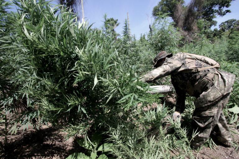 Agentes de la SENAD intervinieron en Morombí durante un operativo para destruir plantaciones de marihuana. Foto Pánfilo Leguizamón.