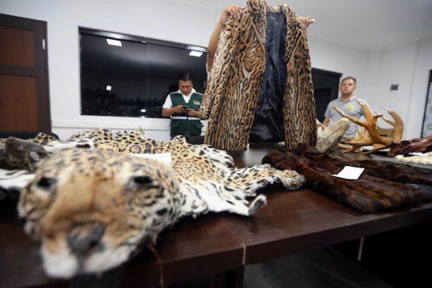 Los ciudadanos chinos Li Ming y su esposa Yin Lan fueron detenidos y procesados en Bolivia por el delito de tráfico de partes de jaguar. En Sudamérica se ha identificado que el principal destino internacional de tráfico es Asia. Foto: El Deber