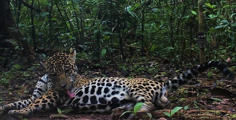 Esta imagen, captada con una cámara trampa en el Parque Nacional Güeppi-Sekime, fue obtenida en el segundo ingreso al campo en el 2019. Foto: WWF Perú.