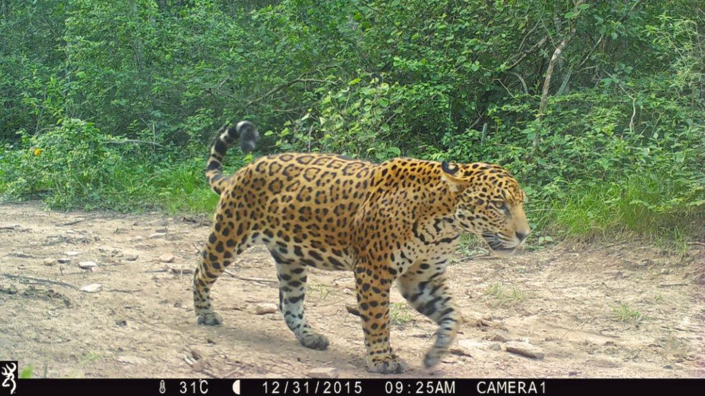 Las creación de las áreas naturales protegidas son una de las principales herramientas de los países sudamericanos para resguardar al jaguar. Foto: Duston Larsen / Estancia San Miguelito.