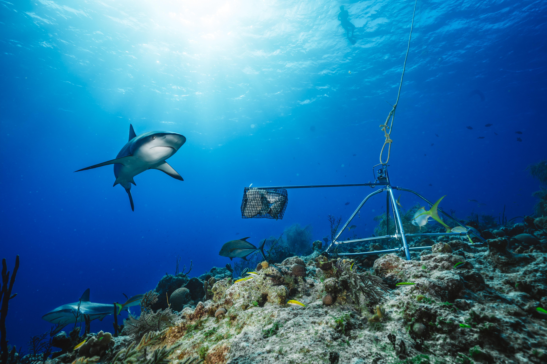 Según la investigación, en el 20% de los arrecifes revisados, los tiburones estaban casi completamente ausentes, considerándose funcionalmente extintos. / Foto: Global FinPrint