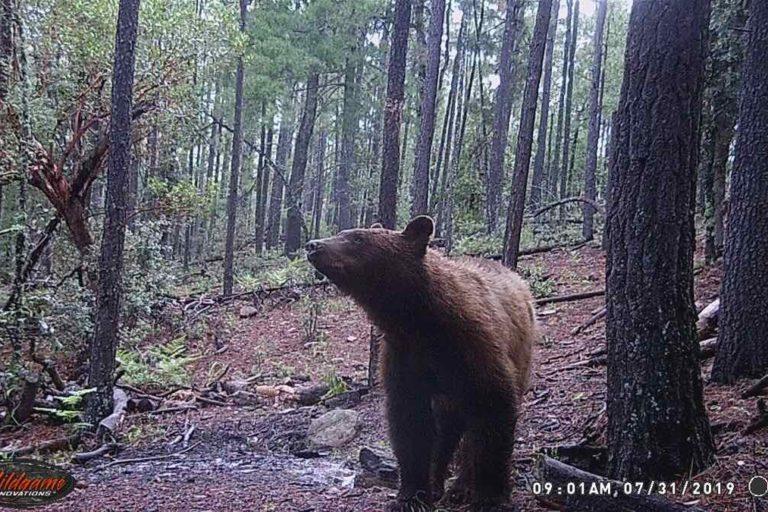 En Campo Verde, Chihuahua, se ha documentado la presencia de 106 osos negros. Foto: Cortesía APFF Campo Verde/CONANP