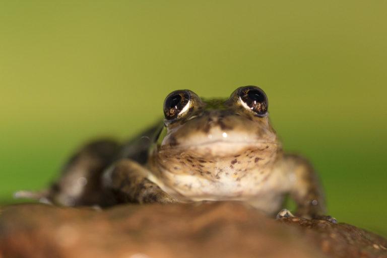 La ranita de Valcheta mide menos de cinco centímetros y tiene ojos grandes. Sus hábitos son nocturnos. Foto: H. Povedano