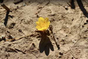 flor en desierto