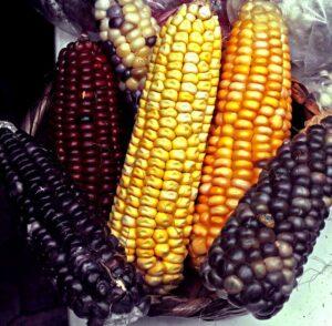 Diversidad de maíz, Henry Manrique.