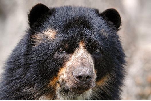 Científicos descubren una población de osos de anteojos en los bosques secos de Bolivia